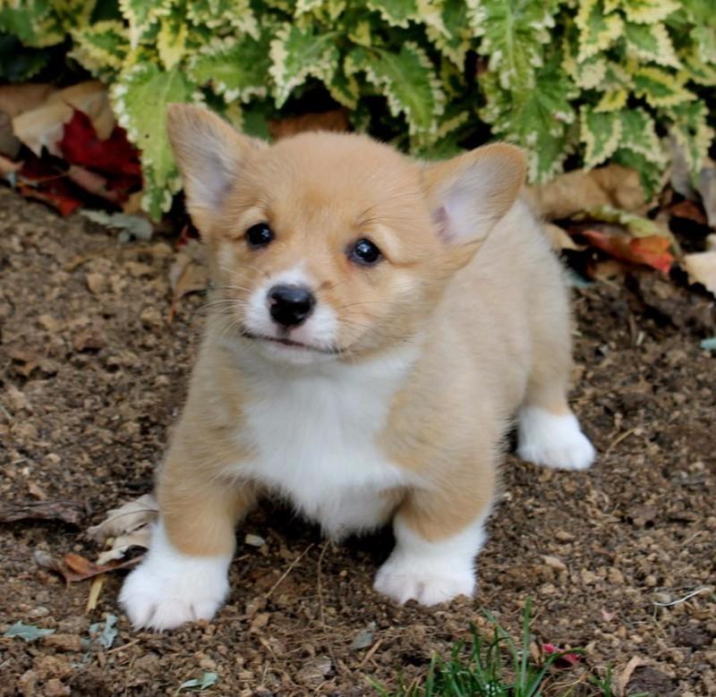 Arizona Playful Welsh Corgi Puppies : Pets and Animals in Arizona